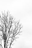 Gray tree branches on white background Royalty Free Stock Photos