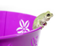 Gray tree frog Royalty Free Stock Images