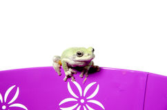 Gray tree frog Stock Images