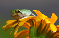 Gray Tree Frog Stock Photography