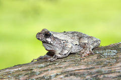 Gray Tree frog Royalty Free Stock Photo