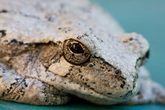 Gray Tree Frog Stock Photos