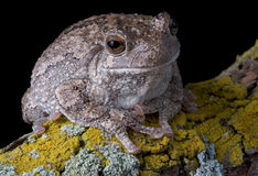 Gray tree frog on branch Royalty Free Stock Photos