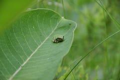 Gray Tree Frog, der auf einer Milkweedanlage stillsteht Stockbild