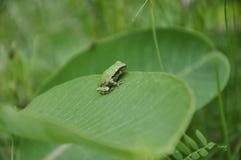 Gray Tree Frog, der auf einer Milkweedanlage stillsteht Lizenzfreie Stockfotografie