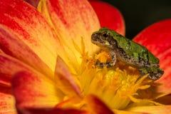 Gray Tree Frog Stock Image