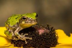 Gray Tree Frog Royalty Free Stock Photos