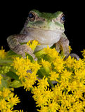 Gray tree frog on goldenrod Stock Photo