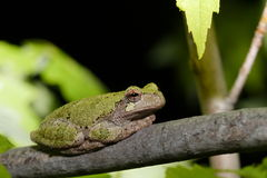 Gray tree frog Royalty Free Stock Photography