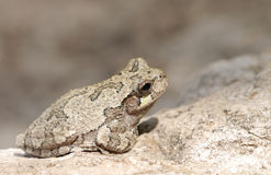 Gray tree frog. (Hyla chrysoscelis) in it's natural environment Stock Images