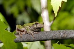 Gray tree frog. (Hyla chrysoscelis) sitting in a tree Royalty Free Stock Photography