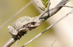 Gray tree frog (Hyla chrysoscelis). Sitting on a branch stock image