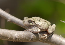 Gray tree frog Royalty Free Stock Photos