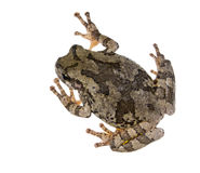 The gray tree frog Hyla chrysoscelis / versicolor, disguises lichen. The gray tree frog Hyla chrysoscelis / versicolor isolated on white background, disguises royalty free stock photos