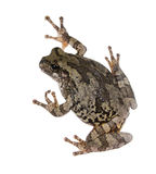 The gray tree frog Hyla chrysoscelis / versicolor Royalty Free Stock Images