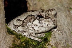 Gray Tree Frog (Hyla versicolor). In a tree with moss stock image