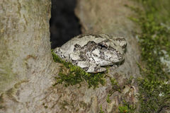 Gray Tree Frog (Hyla versicolor). Sleeping in a tree royalty free stock photos