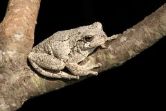 Gray Tree Frog (Hyla versicolor). On a tree with a black background royalty free stock photos