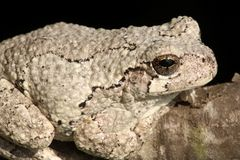 Gray Tree Frog (Hyla versicolor). On a tree with a black background stock images
