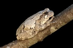 Gray Tree Frog (Hyla versicolor). On a tree with a black background stock photos