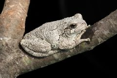 Gray Tree Frog (Hyla versicolor). On a tree with a black background stock photography