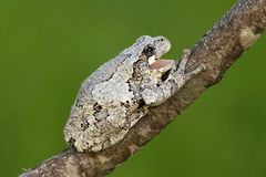 Gray Tree Frog (Hyla versicolor). On a tree with a green background stock photography