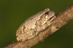 Gray Tree Frog (Hyla versicolor). On a tree with a green background royalty free stock photo
