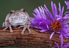 Gray tree frog next to purple aster. A gray tree frog is sitting next to an aster flower on a vine Royalty Free Stock Photo