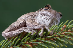 Gray tree frog on pine branch Stock Photos