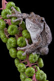 Gray tree frog on poke weed Royalty Free Stock Photos