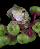 Gray tree frog on pokeweed Royalty Free Stock Images