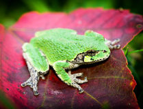 Gray Tree Frog on red leaf - Eye royalty free stock image