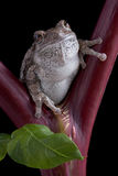Gray tree frog on red stem Royalty Free Stock Images