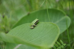 Gray Tree Frog resting on a milkweed plant royalty free stock photography