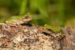 Gray Tree Frogs Fotografia Stock