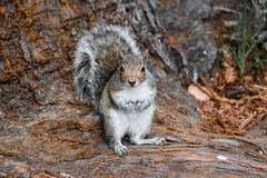 Gray tree Squirrel royalty free stock photography