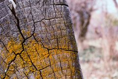 Gray Tree Stump With Yellow Moss Royalty Free Stock Images