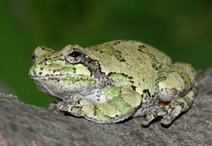 Gray Treefrog stock photo