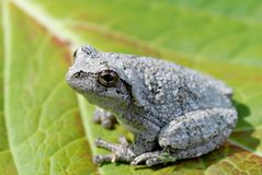 Gray Treefrog stock images