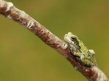Gray Treefrog de Cope imagens de stock royalty free