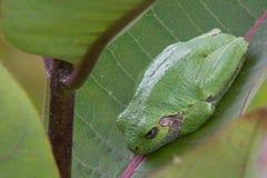 Gray Treefrog del este Fotografía de archivo