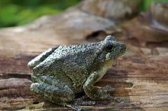 Gray Treefrog Hyla versicolor Fotografie Stock Libere da Diritti