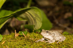 Gray Treefrog (Hyla versicolor). Gray Treefrog in it's natural habitat stock images