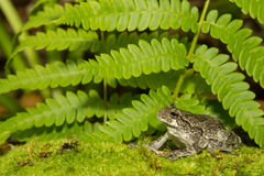 Gray Treefrog (Hyla versicolor). Gray Treefrog in it's natural habitat stock photo