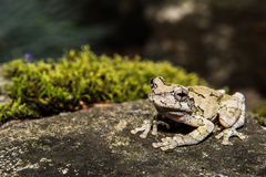 Gray Treefrog (Hyla versicolor). Gray treefrog sitting on rock with moss royalty free stock image