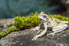 Gray Treefrog (Hyla versicolor) Royalty Free Stock Photo