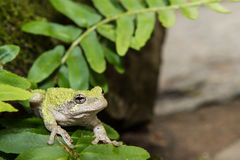 Gray Treefrog (Hyla versicolor). Gray treefrog sitting on rock with moss royalty free stock photography