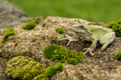 Gray Treefrog (Hyla versicolor). Gray treefrog sitting on rock with moss royalty free stock photos