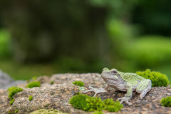 Gray Treefrog (Hyla versicolor). Gray treefrog sitting on rock with moss royalty free stock photo