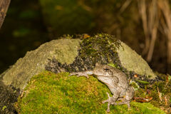 Gray Treefrog (Hyla versicolor). Gray treefrog sitting on rock with moss stock image